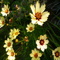Coreopsis hybride 'Incredible' (meisjesogen)