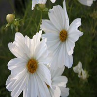Cosmos bip. 'Purity'
